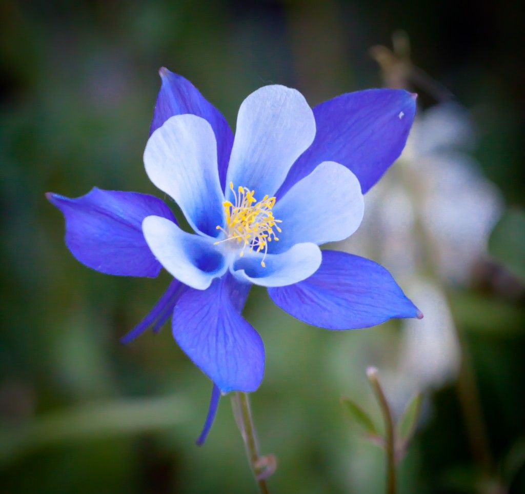 Blue columbine flower state flower of colorado angels plants blue columbine flower state flower of colorado dhlflorist Image collections