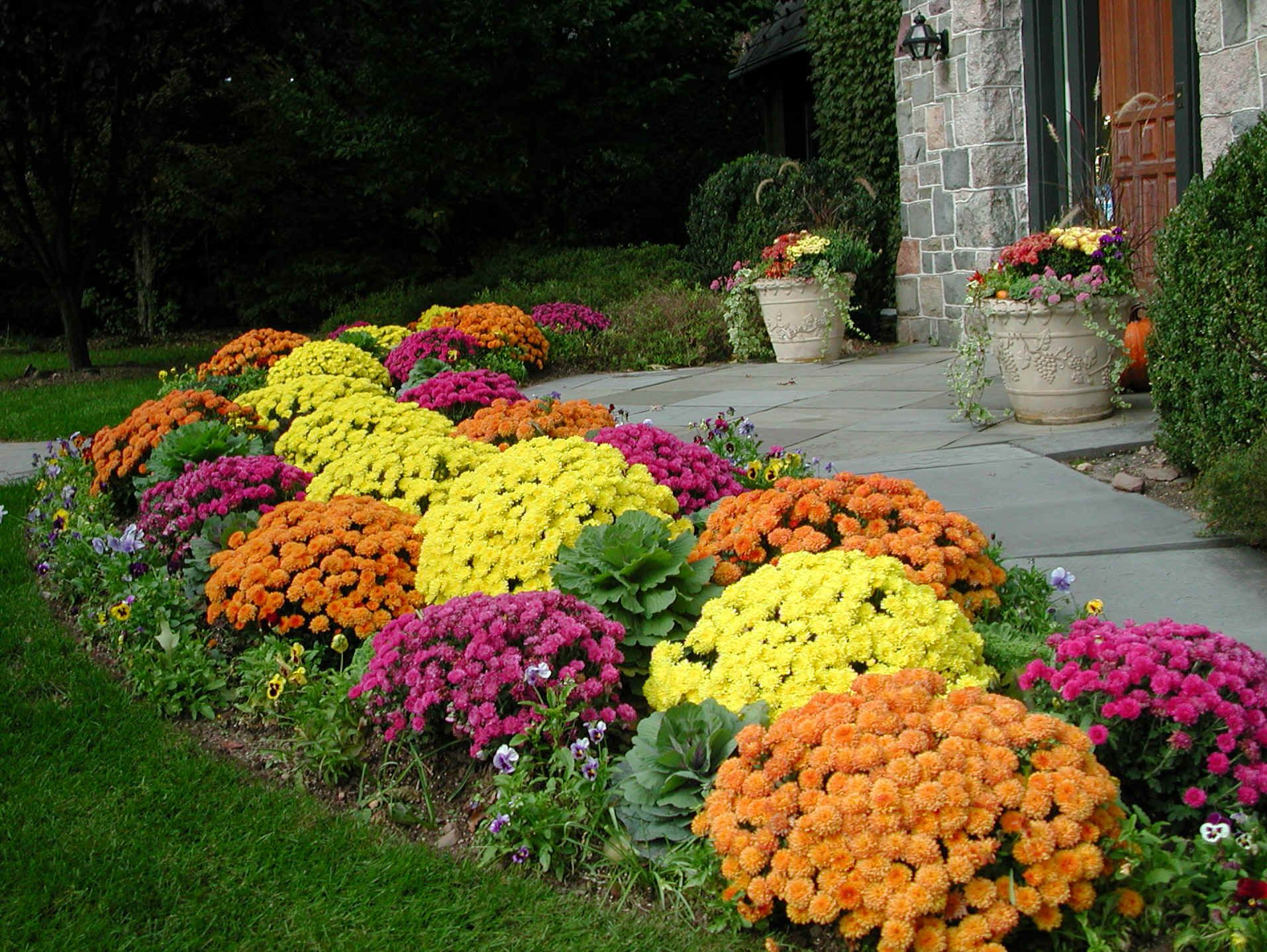 Year round plants for flower beds - Beautiful Mums For Front Yard Landscaping By Sidewalk Just Dig A Hold And Put The Entire Pot In It For Quick Work Pin I Love The Fall Colors That Can Be