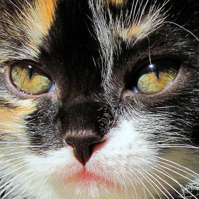 """""""A cat can be trusted to purr when she is pleased, which is more than can be said for human beings."""" --William Ralph Inge"""