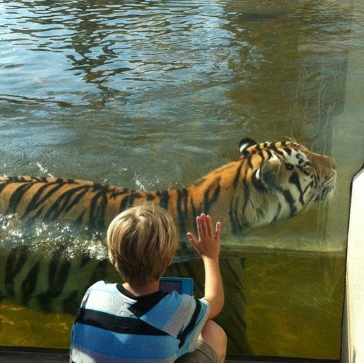 Gr son Mateo looking at LSU Mike the tiger