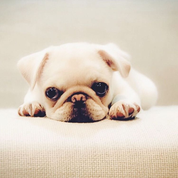 If Anyone Remembers Marshmallow The White Pug Puppy From The
