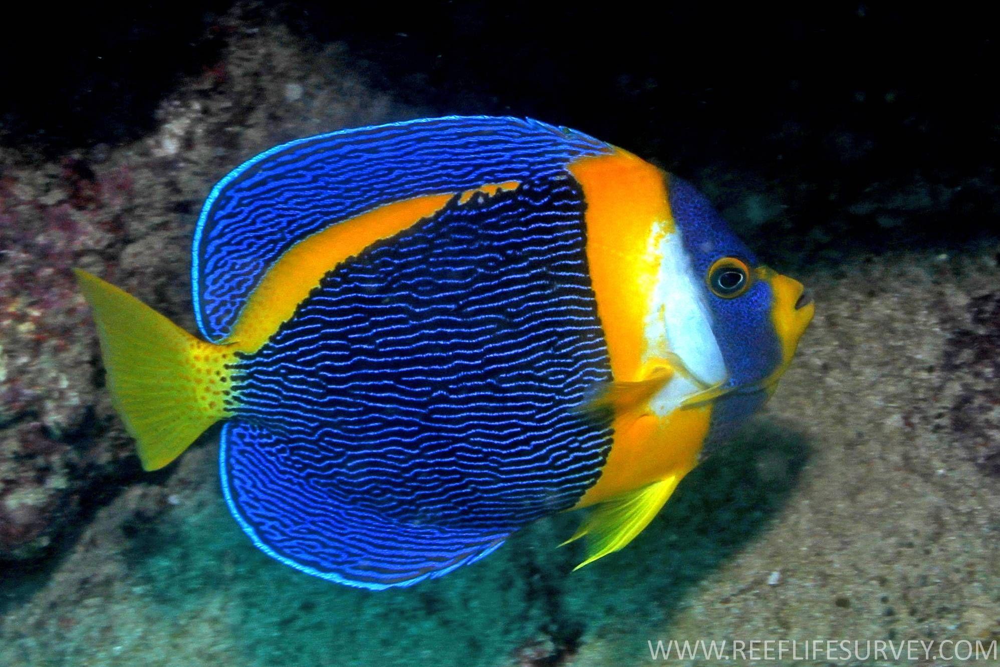 Scribbled Angelfish Chaetodontoplus Duboulayi This Fish Is Aka