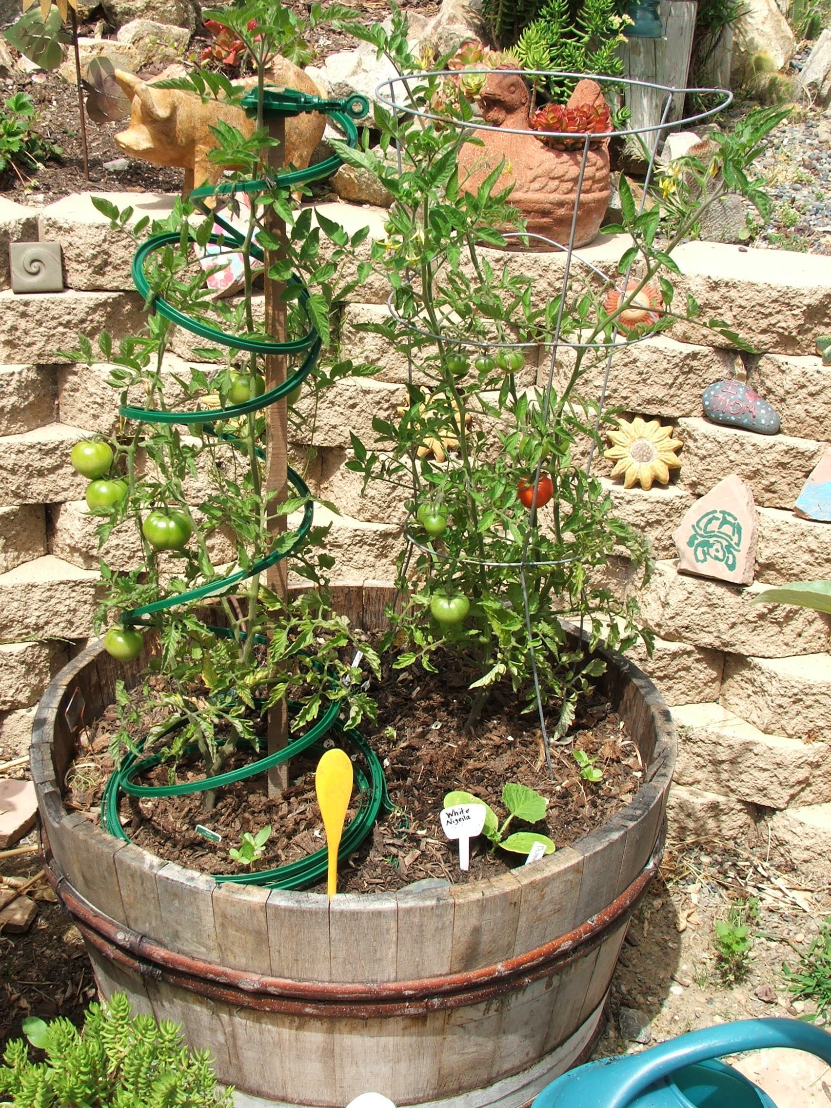 Early Girl Tomato Plant in a Wine Barrel
