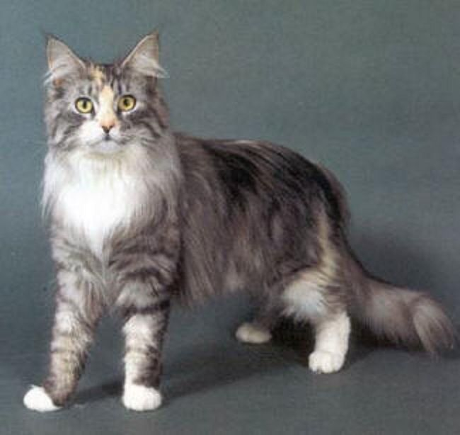 Maine Coon Mix Kittens | Water Sky