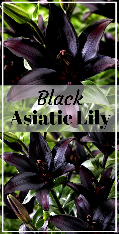 Landini asiatic lily black color bulb perennial summer flower ad landini asiatic lily black color bulb perennial summer flower ad lily izmirmasajfo