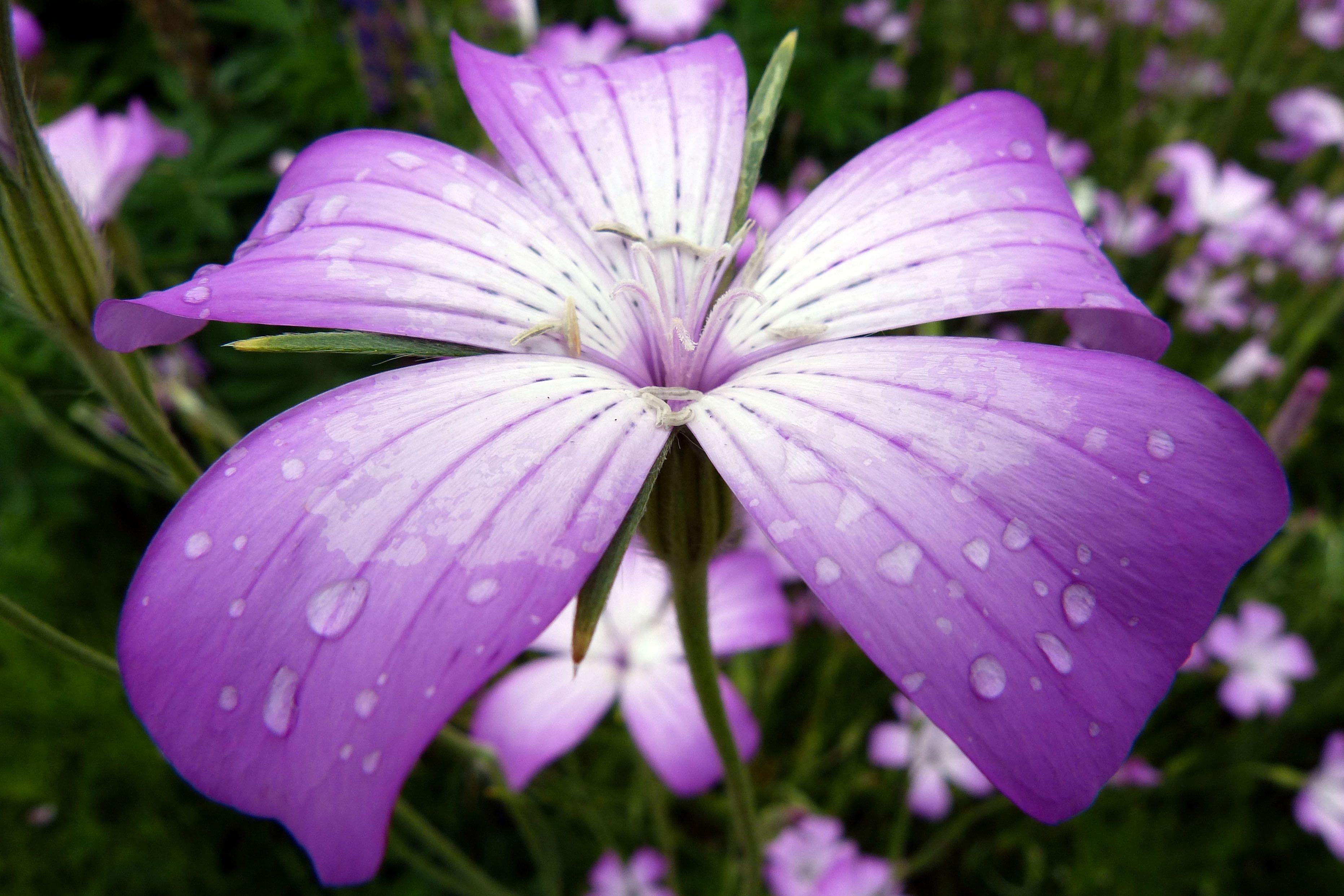 Purple And White Oregon Flowers Pinterest Flowers