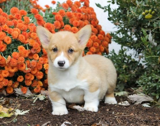 Lindsey Welsh Corgi Pembroke Puppy For Sale In Honey Brook Pa Lancaster Puppies