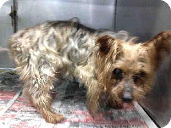 Florida Roscoe A1596482 Is A Senior Yorkie Yorkshire Terrier