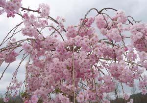 Weeping Cherry Tree Weeping Cherry Tree Trees And Shrubs Cherry Blossom Tree