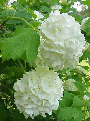 Snowball tree by mharrsch, via Flickr