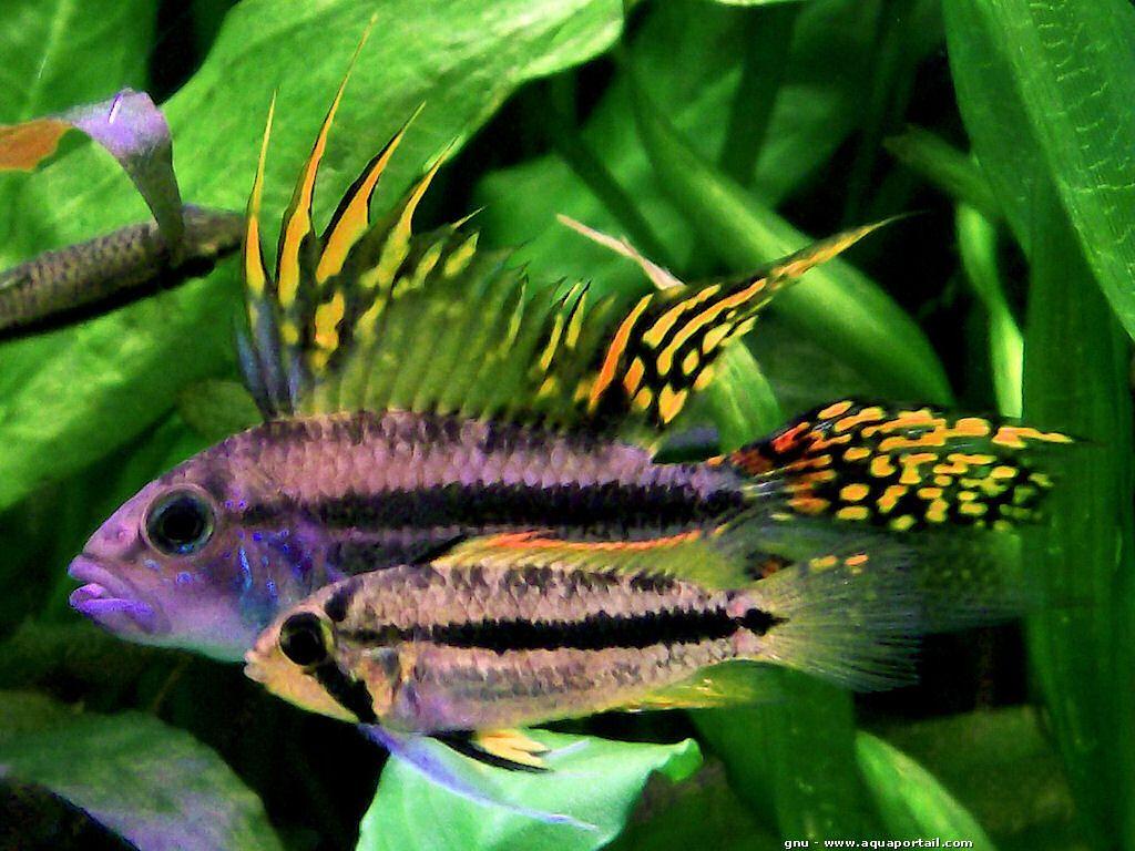Apistogramma cacatuoides aquariums fish and aquarium fish for Petit aquarium