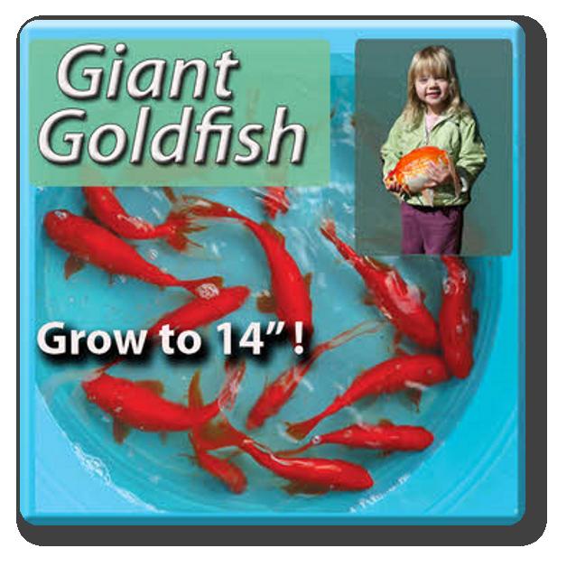 Blackwater Creek Koi Farms Inc Online Store Giant Goldfish Free Shipping In 2020 Goldfish Butterfly Koi One Fish