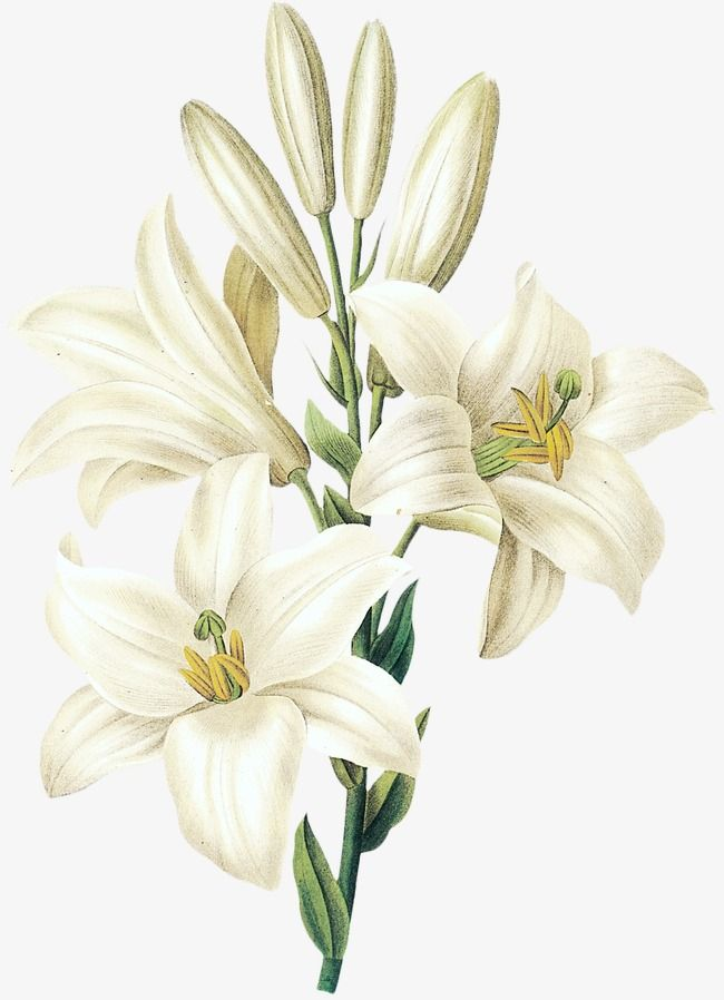 Sesame White Lily Flower, Flower Clipart, Hand Painted ...
