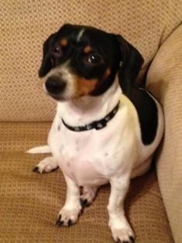 Black And White Piebald Dachshund : black, white, piebald, dachshund, Adopt, Simon, Petfinder, Dachshund, Piebald, Dachshund,, Animal, Pictures