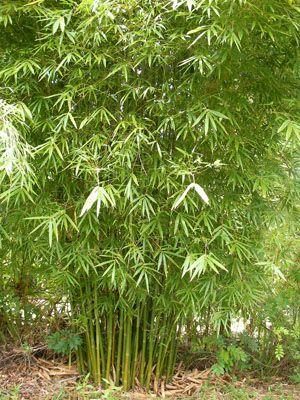 Bambusa gracilis for bamboo walk grow garden grow - Seto de bambu ...