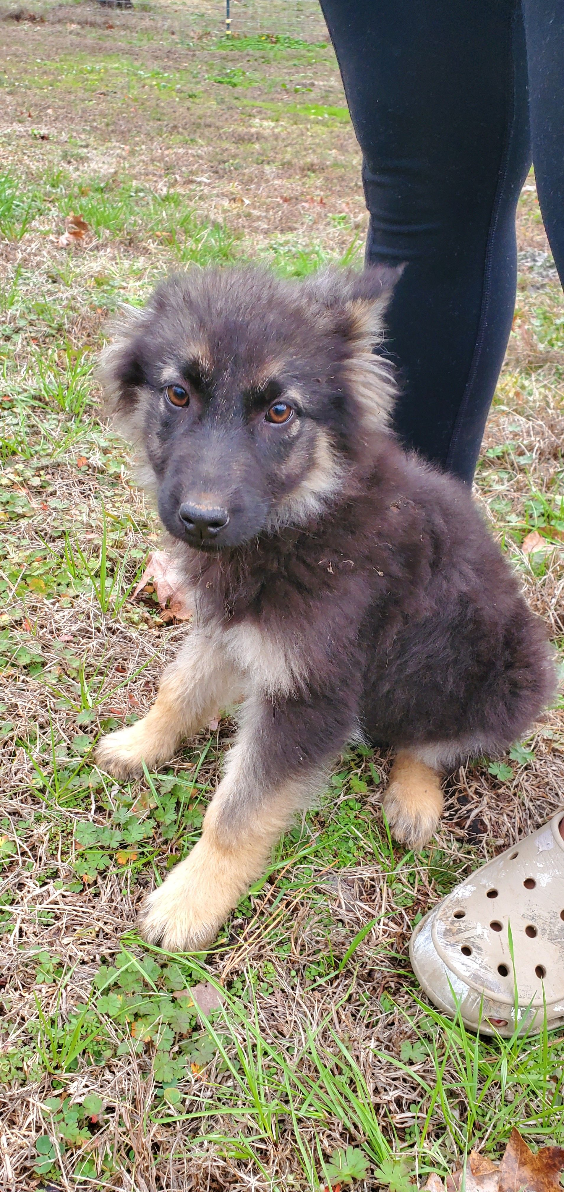 Rose CKC German Shepherd puppy for sale at Fayetteville