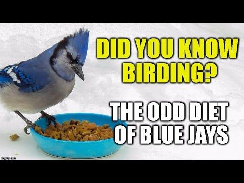 The Odd Diet Of Blue Jays Did You Know Birding Episode 1 Hd