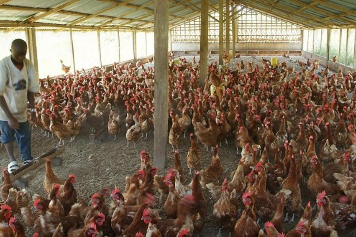 Local Poultry Farmers 'cry' Over Import of Frozen Chicken
