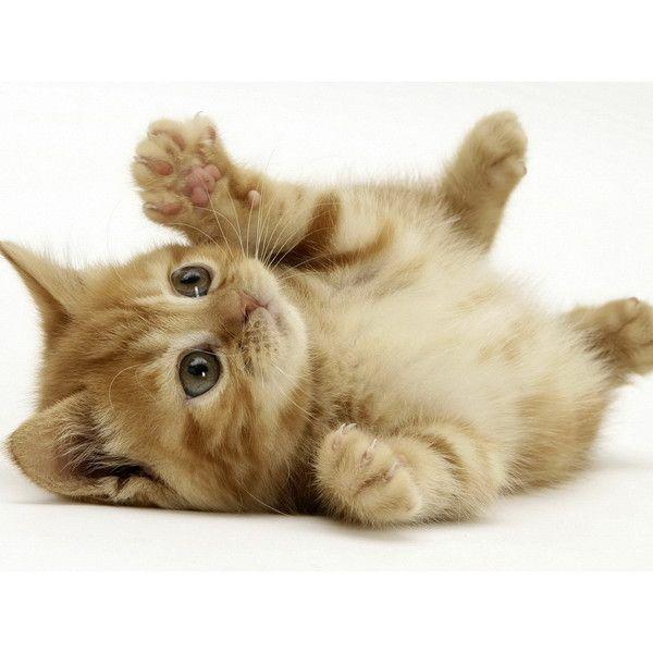 Little Kitten Free Desktop Wallpapers Download Liked On
