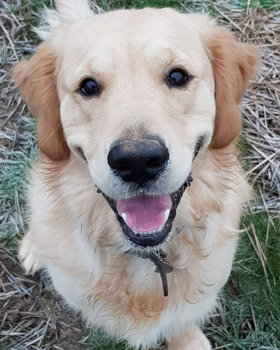 Wellington Beautiful Dogs Golden Retriever Puppy Golden Retriever