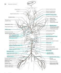Cat arteries and veins diagram anatomyforme diagrams of feline cat arteries and veins diagram anatomyforme diagrams of feline arterial and venous systems ccuart Image collections