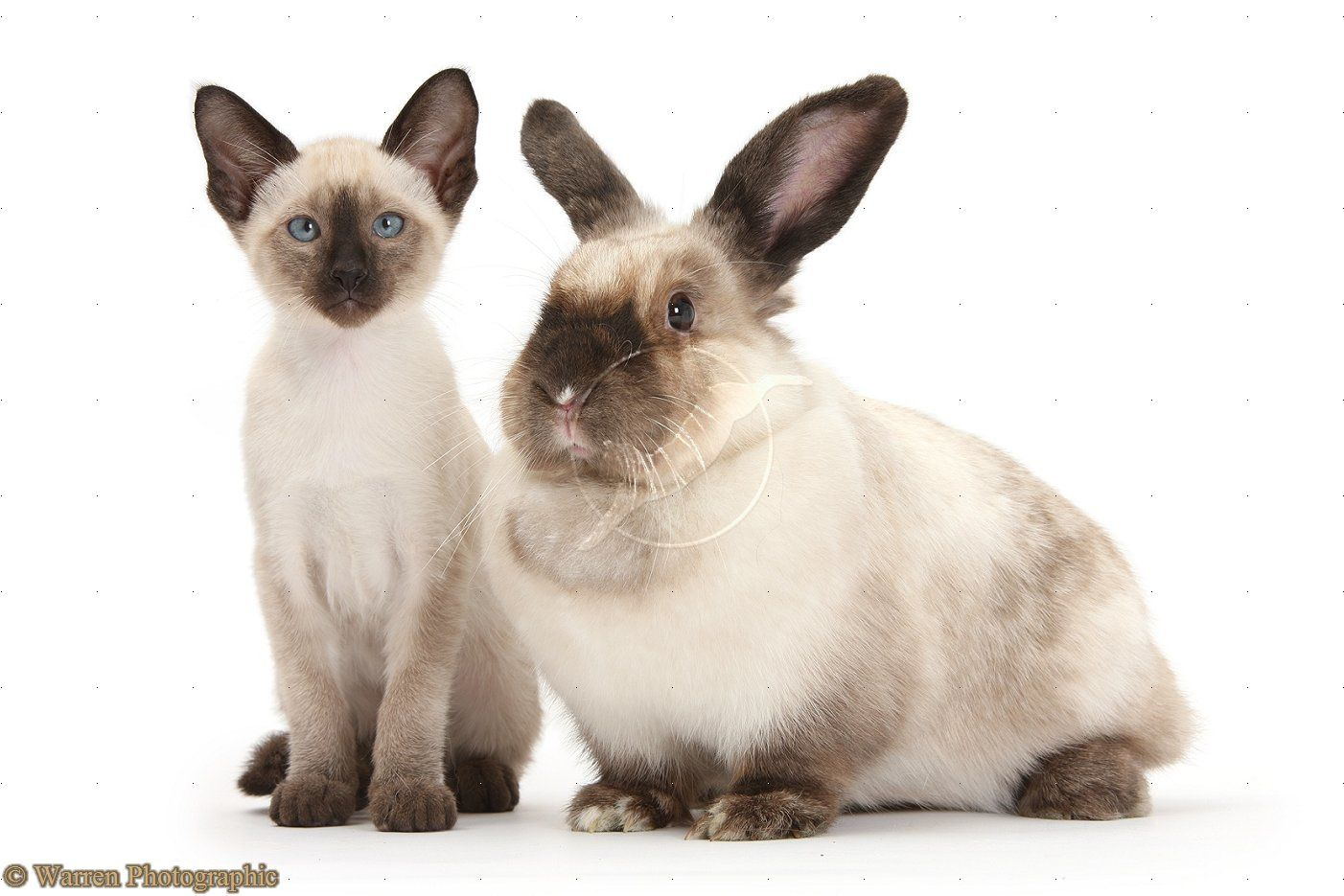 Colourpoint Rabbit And Siamese Kitten 10 Weeks Old Siamese Kittens Cat Behavior Cute Animals