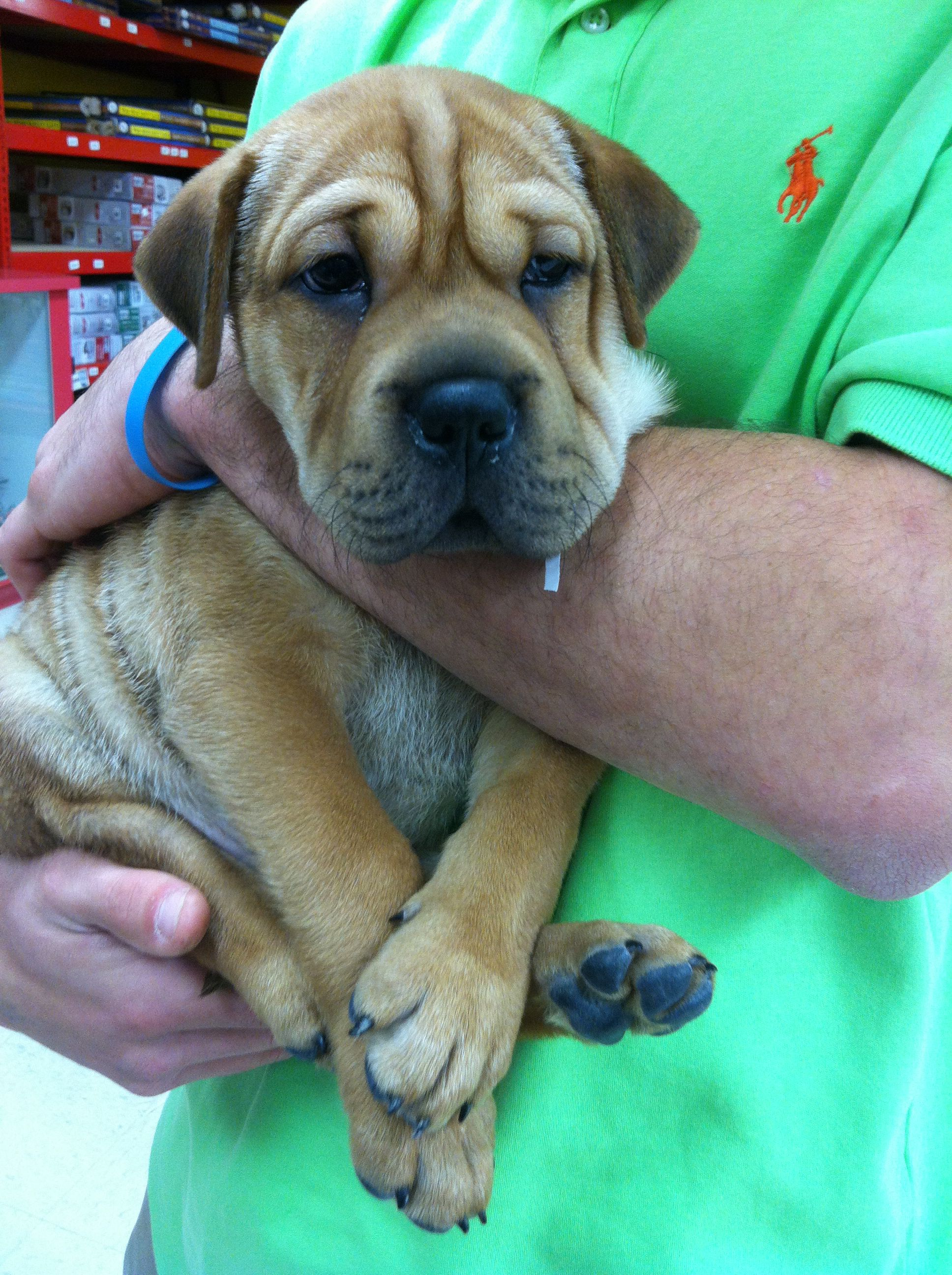 Obsessed With This Little Ball Of Wrinkles A Sharpei Beagle Pug