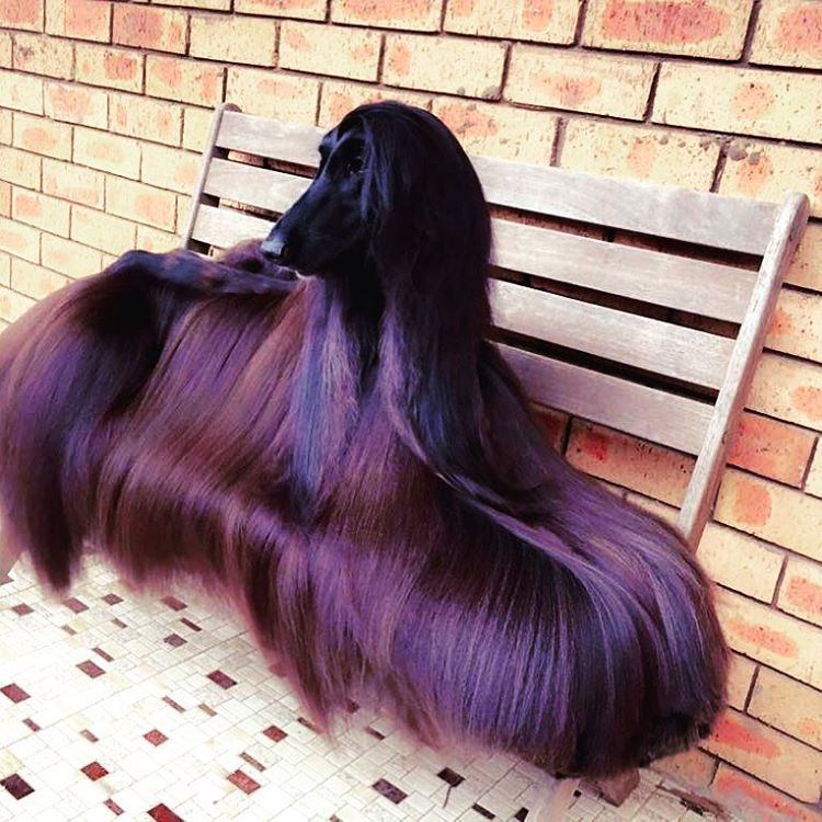 Even Her Hair Is Better Than Yours Sometimes Haircolor Dogs Hair Haircut Hairextensions Clipinhairextensio Nice Shiny Hair Afghan Hound Hound Dog Breeds