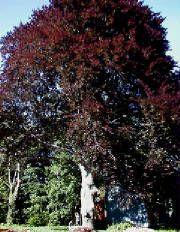 Purple European beech