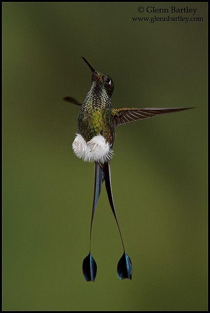 Booted racket tail 11 vogel kleine v gel und vogelbilder for Kleine fliegen an blumen