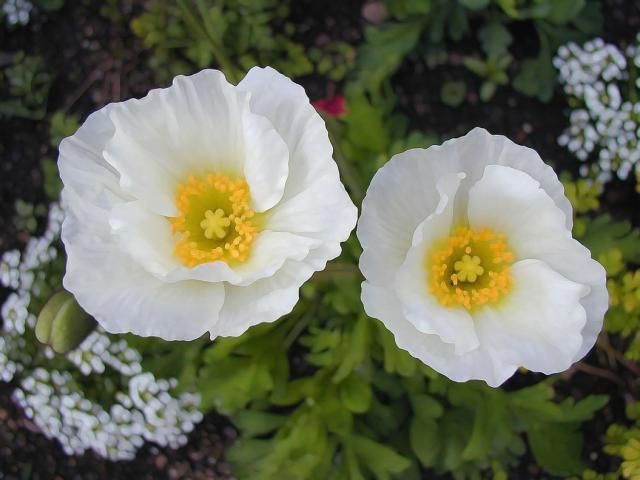 Poppies photo of white poppies w yellow eyes flowers beautiful poppies photo of white poppies w yellow eyes flowers mightylinksfo