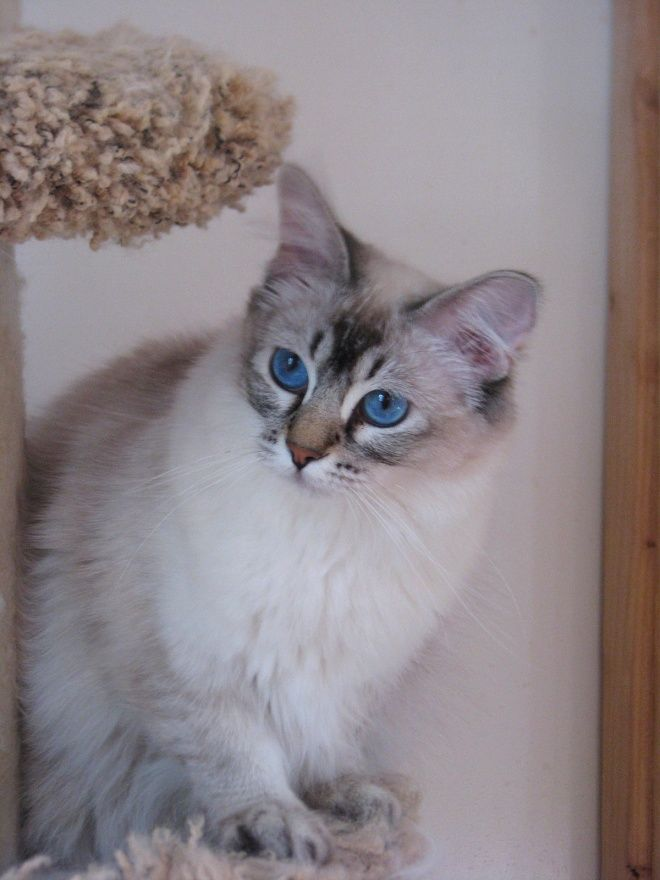 Our Lynx Point Balinese Belina Balinese Cat Cute Cats Cats And