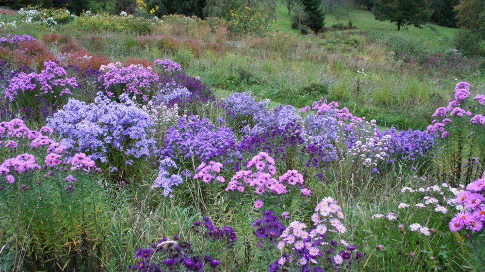 Aster autum flowering at berchigranges garden northeast for Pflanzengestaltung garten