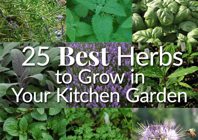 25 Best Herbs To Grow In Your Kitchen Garden Kitchen Garden Plants Best Herbs To Grow Easy Herbs To Grow