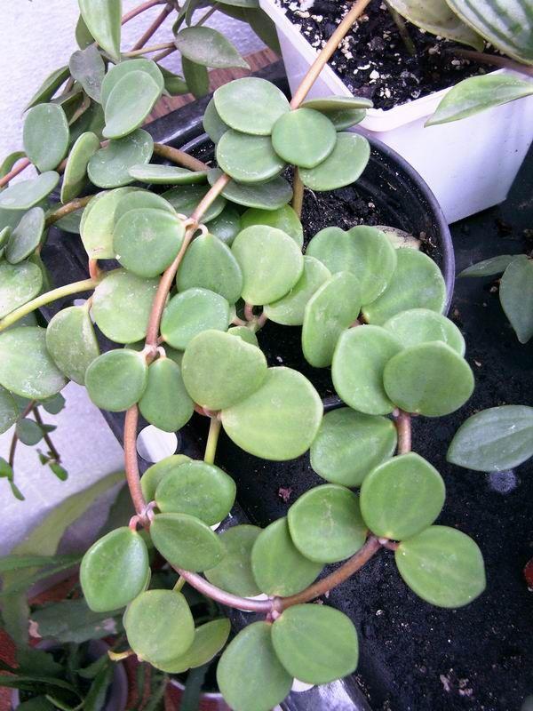 Peperomia Rotundifolia I Hope Mine Roots Avec Images