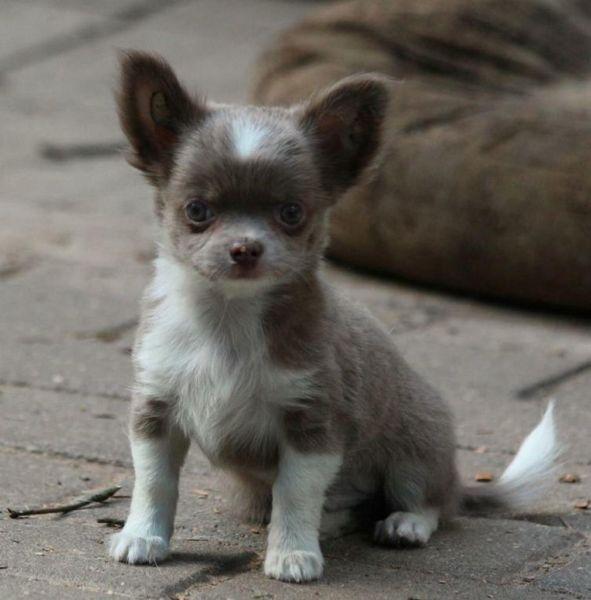 Verkaufe Lilac Ruden Mit Fci Pedigree Lustige Tiere Chihuahua Chihuahua Welpen