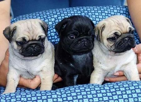 Spike Mike And Ike Cute Cute Pug Puppies Baby Pugs Pug Puppies