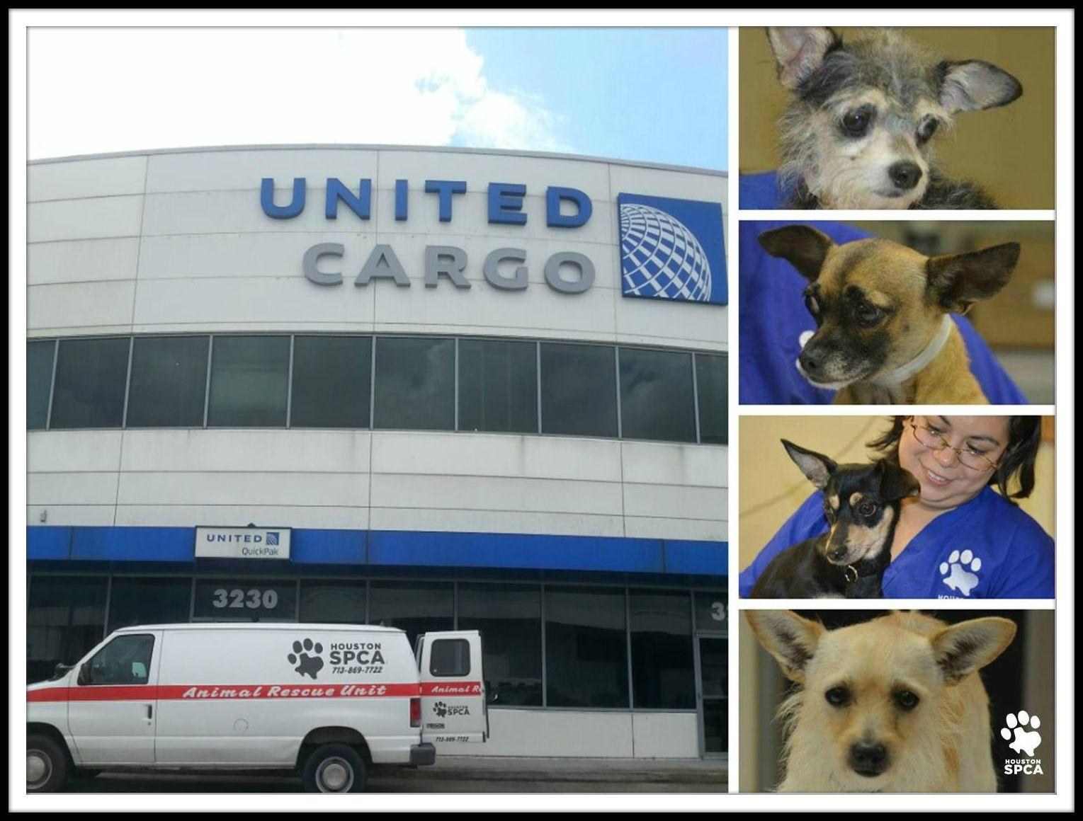 Houston Houston Spca Here Air Chihuahua Has Landed Twenty Homeless Chihuahuas And Small Mixed Breed Dogs From Los A Small Mixed Breed Dogs Mixed Breed Dogs