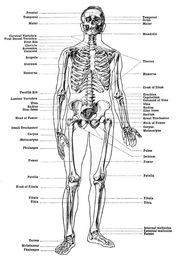 Labeled Skeleton - Front View of Male Skeleton | body study | Pinterest