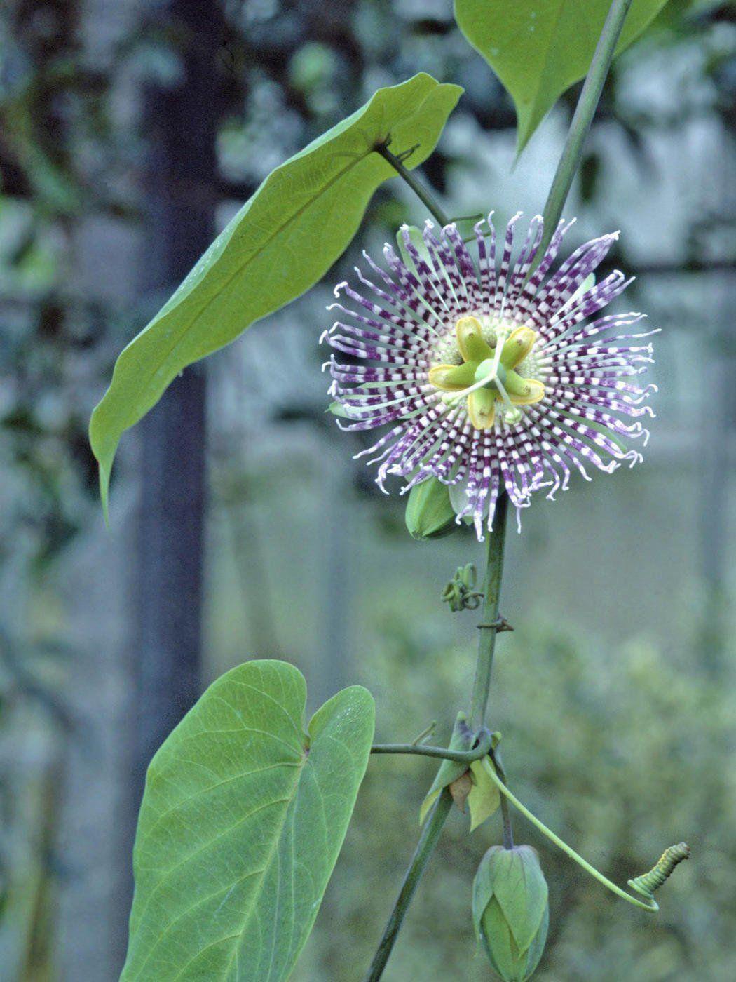 Grenadilla In 2020 Mit Bildern Pflanzen Kubelpflanzen Passionsblume