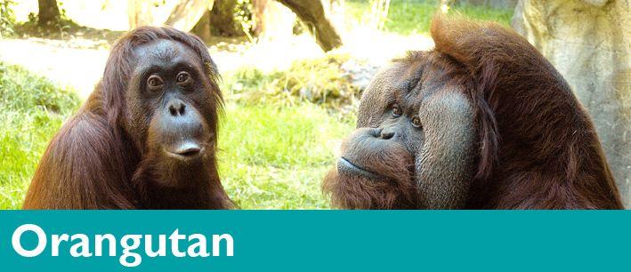 Orangutan Woodland Park Zoo Seattle Wa Woodland Park Zoo Orangutan Zoo
