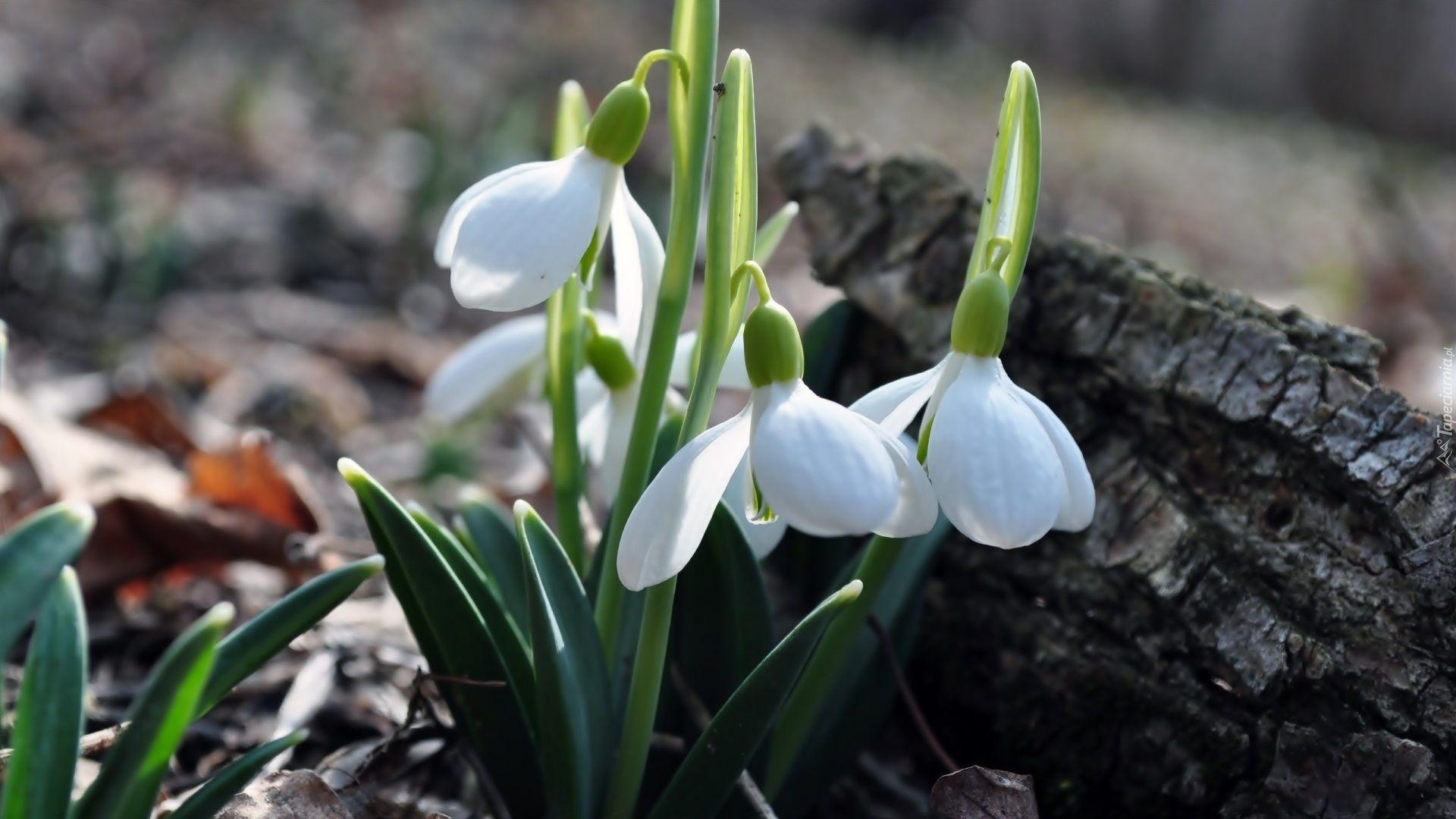 Kwiaty Przebisniegi Spring Wallpaper Succulents Garden Nature Inspiration