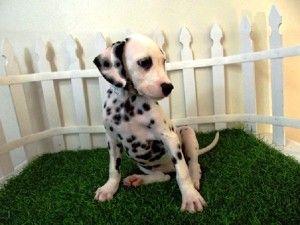 Dalmatian Puppies San Diego Cute Baby Animals Baby Animals Animals