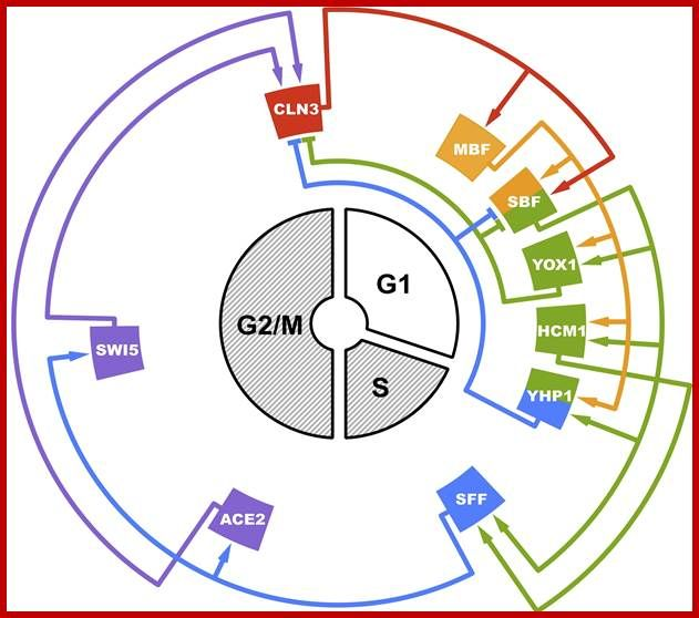 Image result for Cell cycle regulation   Cell cycle ...