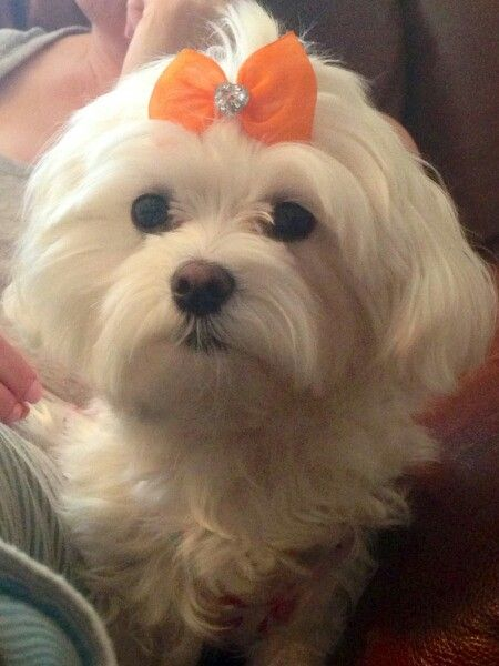 Pin By Lynda Pearce On Love Maltese Maltese Dogs Cute Puppies Maltese