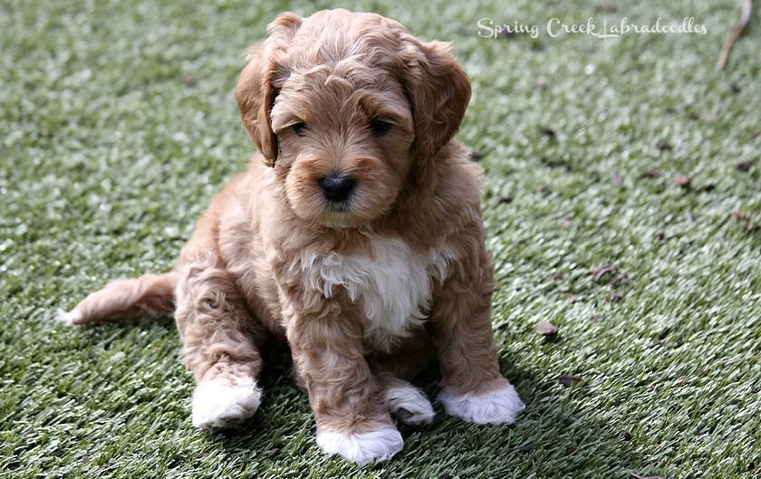 Australian Labradoodle Puppies Available Alaa Wala Approved