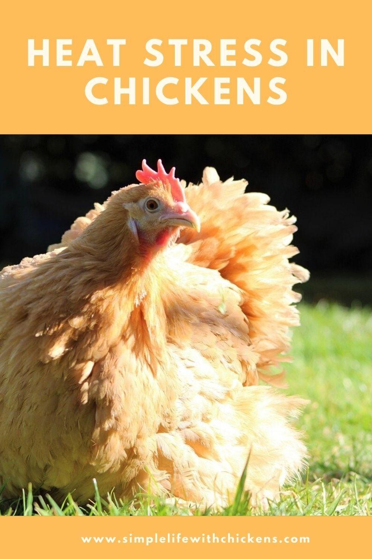 Heat Stress in Chickens in 2020   Chickens, Chickens ...