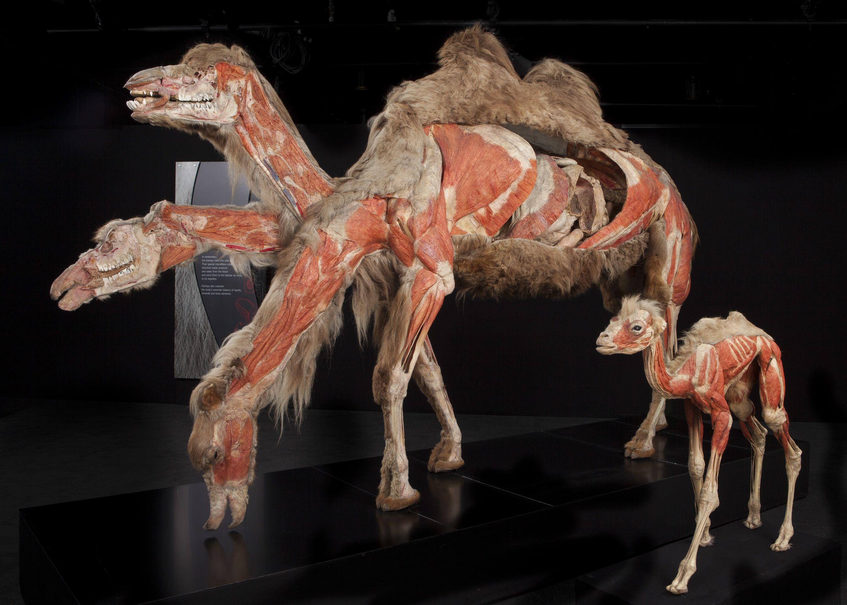 camel anatomy | Animal Anatomy | Pinterest