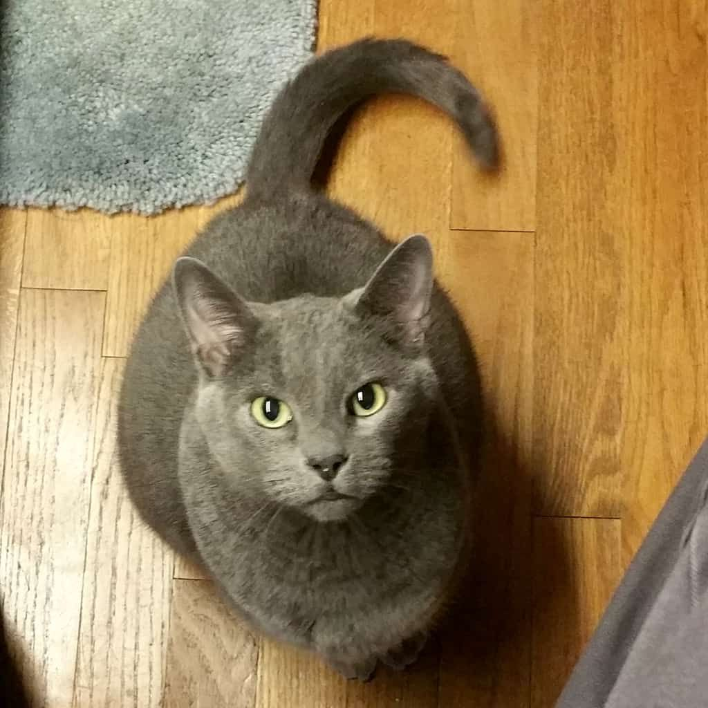 Delightful Discover The Russian Blue Cats Ideas Blue Cats Russian Blue Kitten Russian Blue