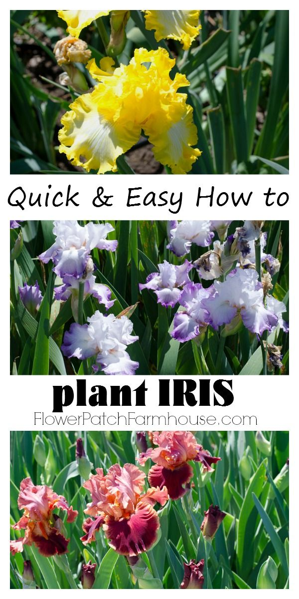 How To Plant Iris And Do It Right Iris Flowers Iris Garden Beautiful Flowers Garden